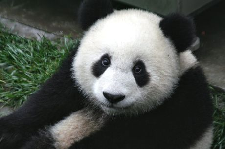 1024px-Panda_Cub_from_Wolong,_Sichuan,_China