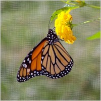 monarch_butterfly_on_flower_196954