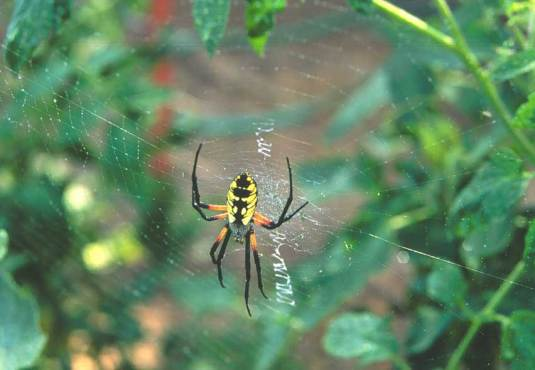 Argiope  image from www.fcps.edu