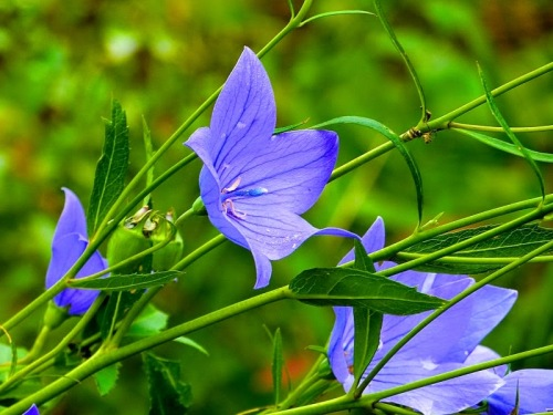 Chinese Bellflower 2