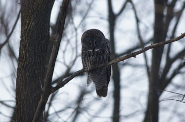 photo of Great Gray Owl by Alan Belford, lake placed.com