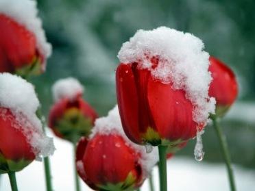 snow tulip