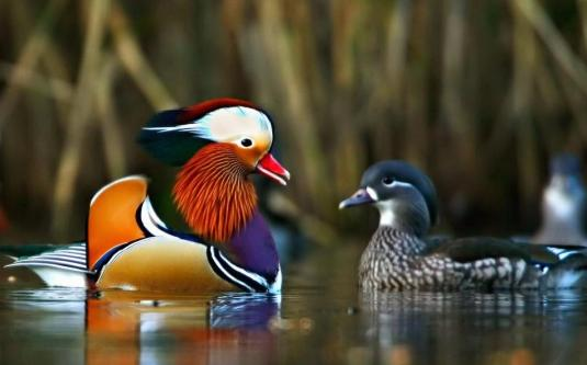mandarin-ducks_000589