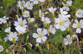 chickweed_-nps-320px-1