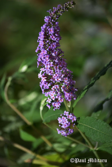 gentle-scent-of-lavender