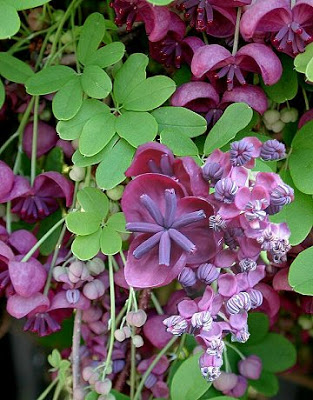 Akebia Blossom