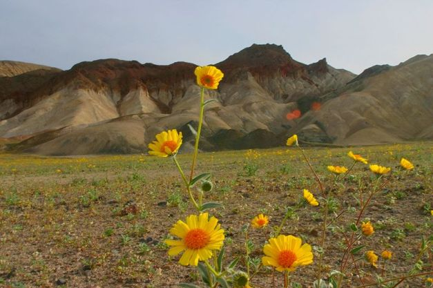 800px-Death_valley_flowers_1