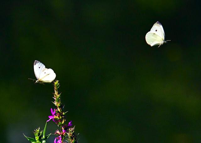 Pieris rapae Cabbage White Butterflies
