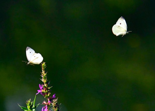 Pieris rapae Cabbage White Butterflies