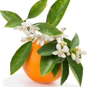 10503-Orange-Blossom-Thyme-Fragrance