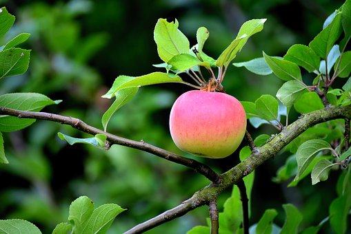 apple-3628165__340