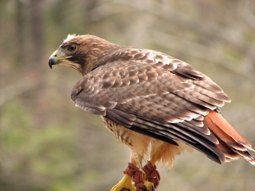 10190-close-up-of-a-red-tailed-hawk-pv