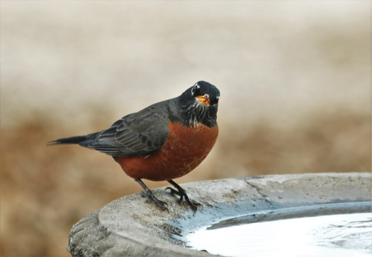 american-robin-at-bird-bath