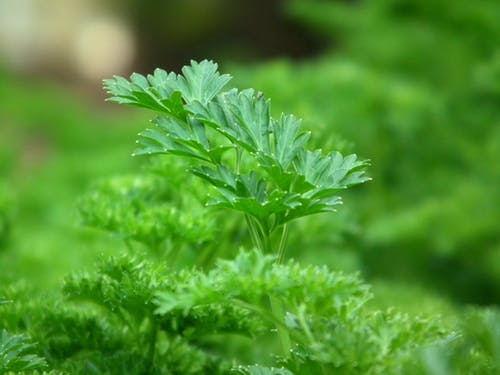 parsley-seasoning-salad-greens-60639