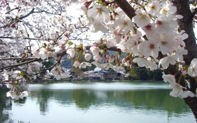Lake_Biwa+and+Cherry+blossom