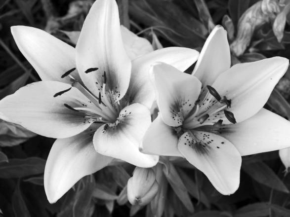 black-and-white-flowers-10
